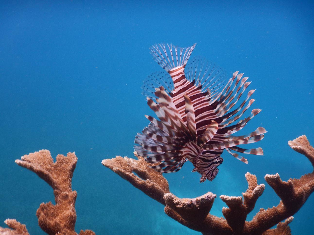 Lion Fish -  Memories Jibacoa, Cuba