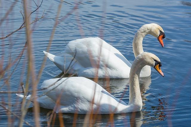 Lakeland History of Swans