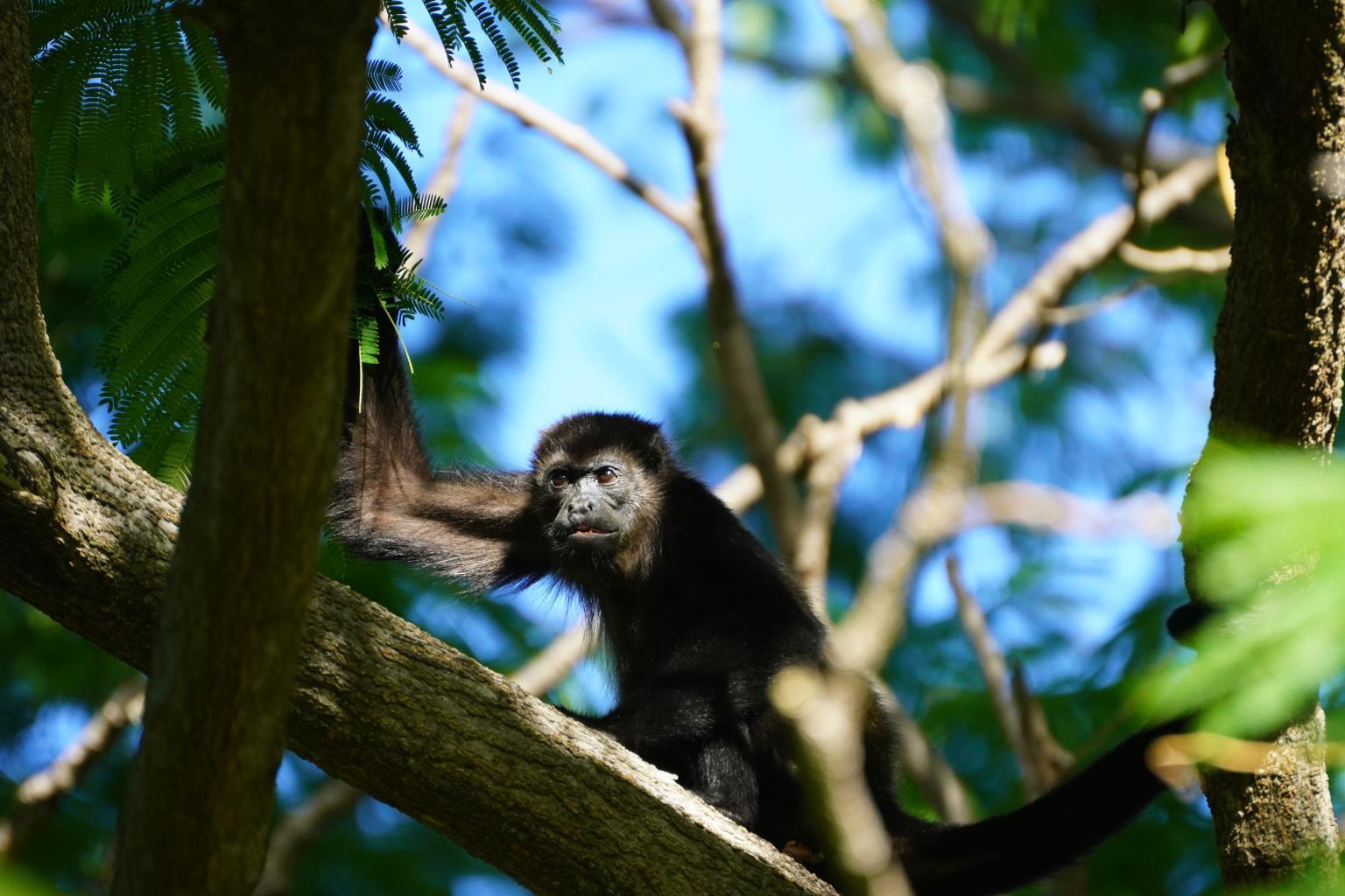 Monkey in Playa Ocotal Costa Rica