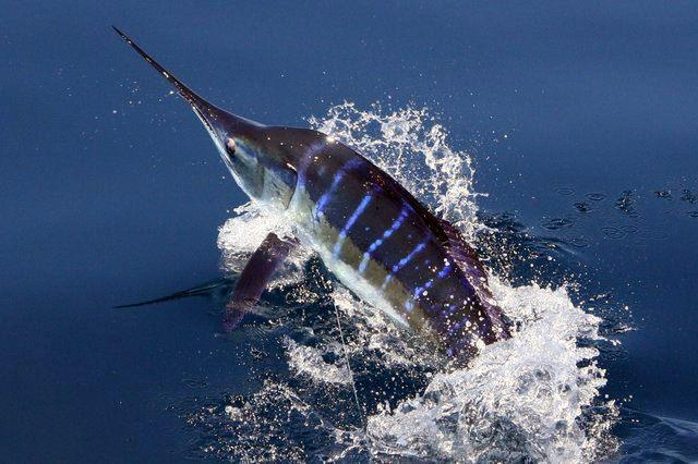 World-renowned as the Marlin Capital of the World