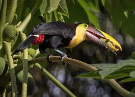 Chestnut Mandibles Tucan from Southern Pacific Costa Rica