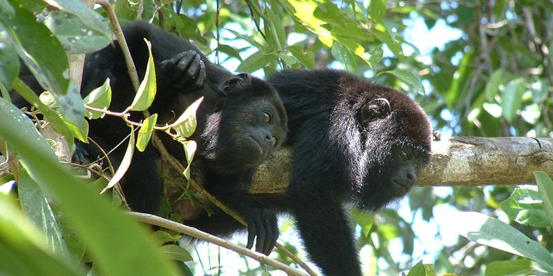 Howler Monkeys. Ambergris Caye, Belize