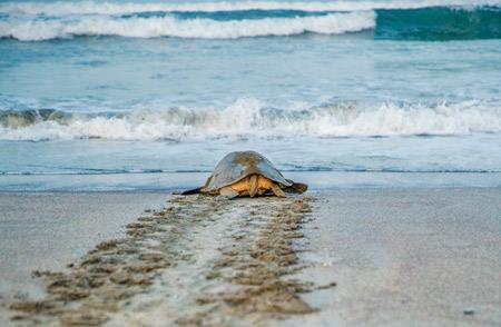 turtle-on-beach-guanacaste