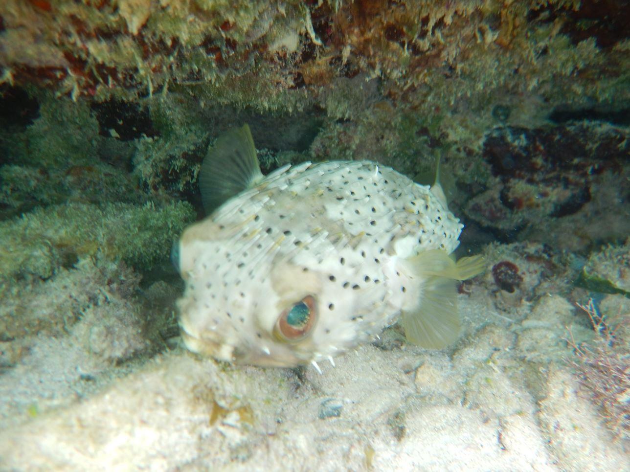 Porcupine Fish - Memories Jibacoa, Cuba