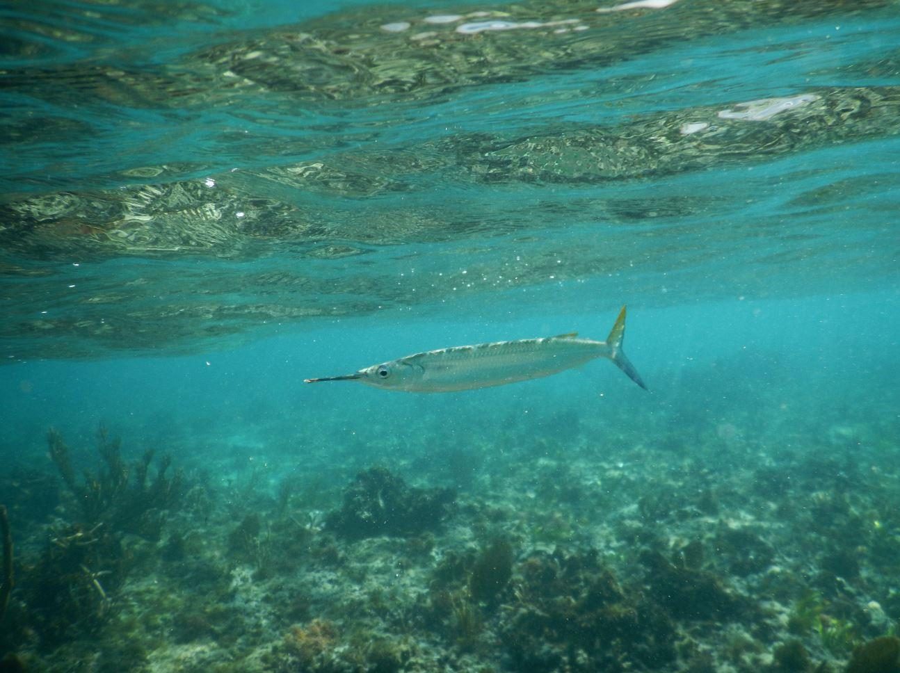 Needlefish - Memories Jibacoa, Cuba